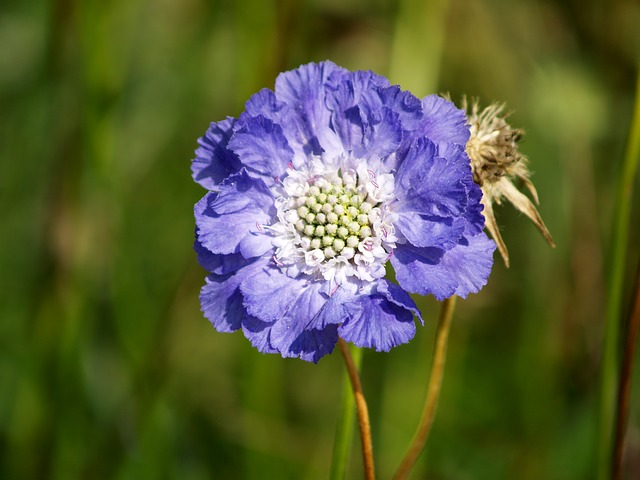 Pin Cushion Flower, Scabiosa zone 3 perennial, perennial border, canadian perennial