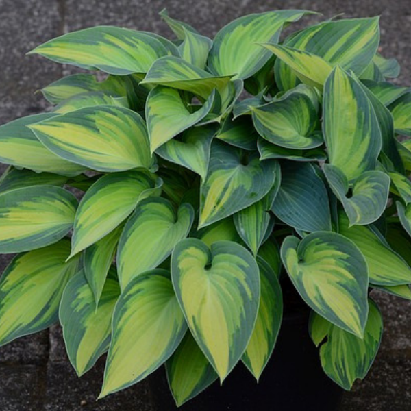 Hosta, shade loving hardy perennial for the perennial garden