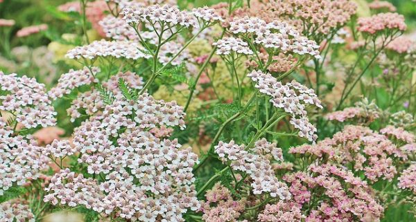 Yarrow, Achillea millefolium, zone 3 perennial, hardy perennial for perennial borders and beds