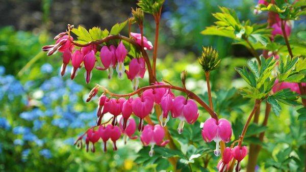 Dicentra, Bleeding Heart, Partial Shade zone 3 Canada