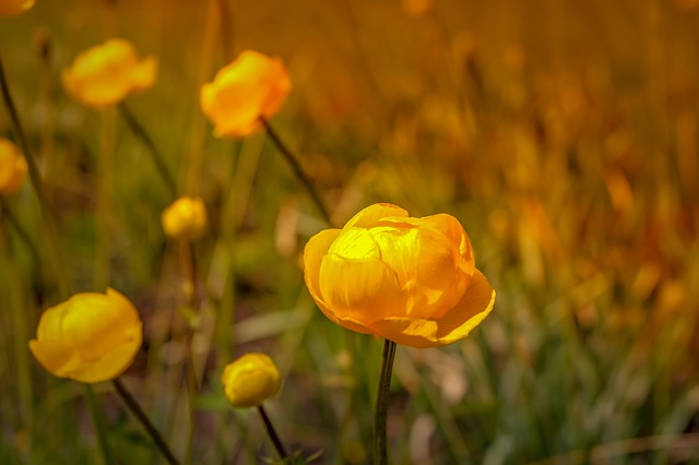 Trollius, zone 3 perennial, perennial border, Canadian perennial, full to part shade perennial