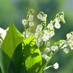Convallaria majalis, Lily of the Valley, Spreading ground cover for shade, Zone 3 Canadian Shade perennial