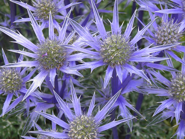 blue flowering perennial, zone 3 canadian full sun perennial, can be invasive