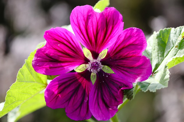 prolific reseeder in the garden, Malva