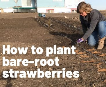 How to Plant Bare Root Strawberries